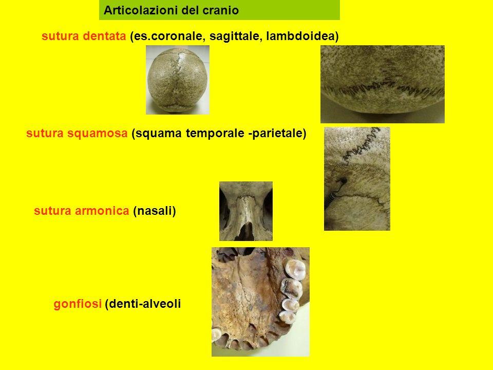 sutura dentata (es.coronale, sagittale, lambdoidea) sutura squamosa (squama temporale -parietale) sutura armonica (nasali) gonfiosi (denti-alveoli Articolazioni del cranio