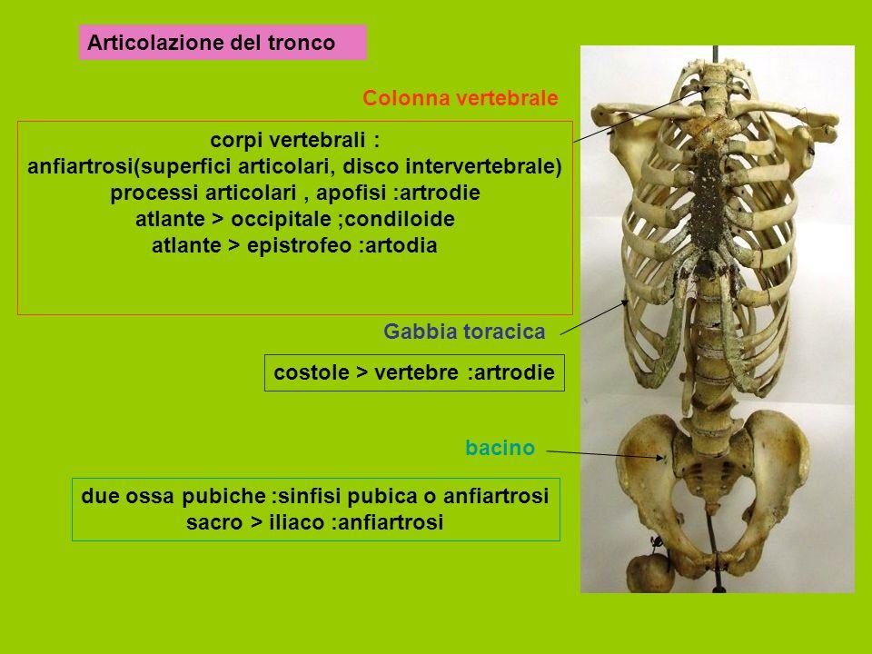 corpi vertebrali : anfiartrosi(superfici articolari, disco intervertebrale) processi articolari, apofisi :artrodie atlante > occipitale ;condiloide atlante > epistrofeo :artodia Articolazione del tronco Colonna vertebrale Gabbia toracica bacino costole > vertebre :artrodie due ossa pubiche :sinfisi pubica o anfiartrosi sacro > iliaco :anfiartrosi