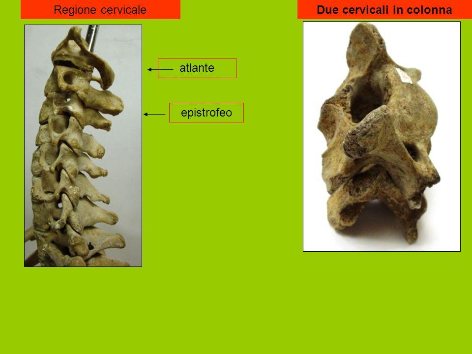 Regione cervicale atlante epistrofeo Due cervicali in colonna