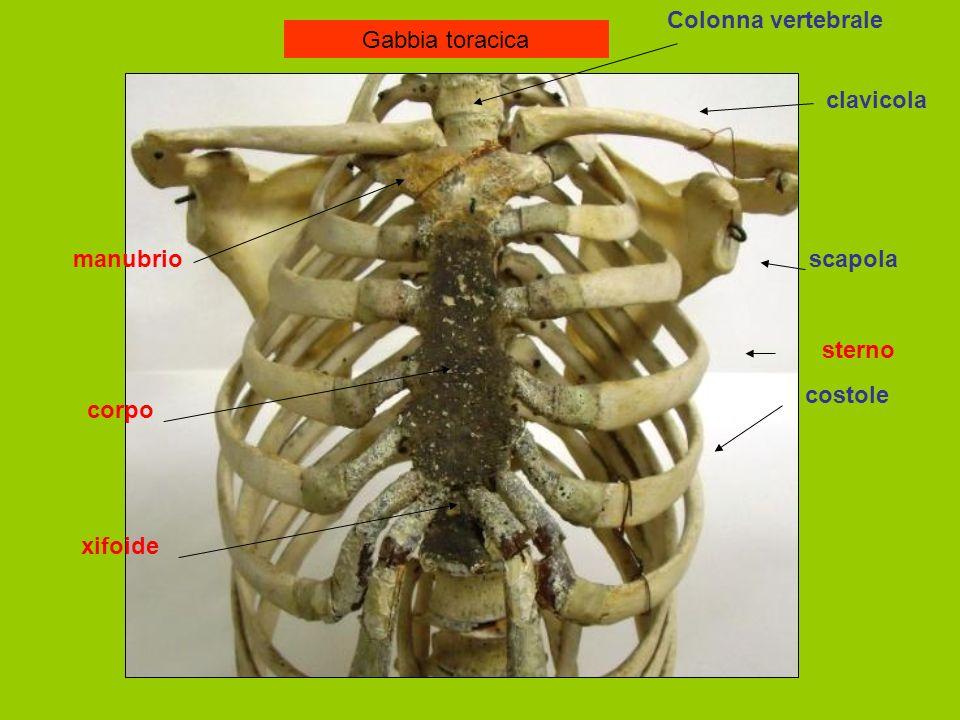 Gabbia toracica Colonna vertebrale clavicola scapola costole sterno manubrio corpo xifoide