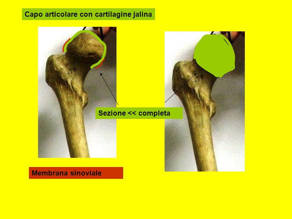 Capo articolare con cartilagine jalina Membrana sinoviale Sezione << completa