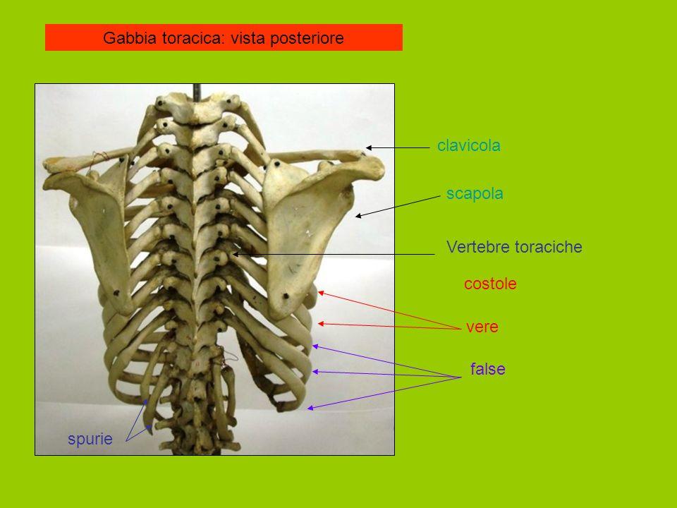 Gabbia toracica: vista posteriore clavicola scapola Vertebre toraciche costole vere false spurie