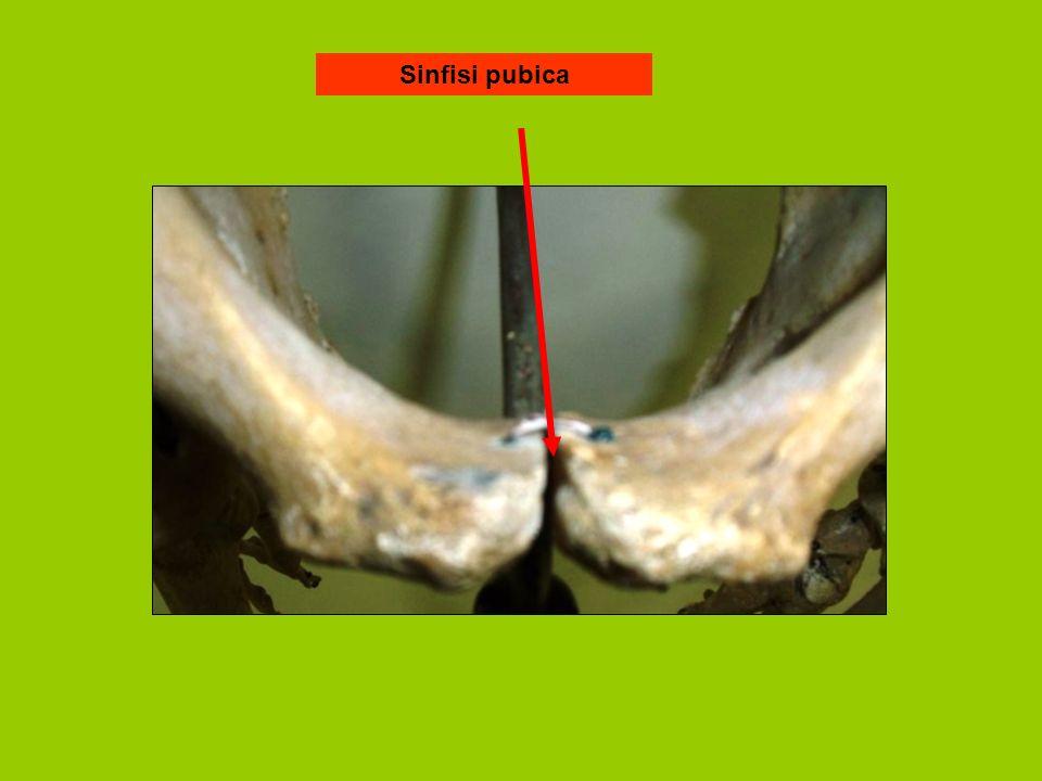 Sinfisi pubica