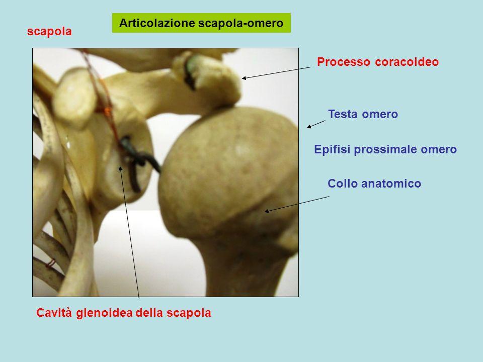 Cavità glenoidea della scapola Articolazione scapola-omero Epifisi prossimale omero Testa omero Collo anatomico scapola Processo coracoideo