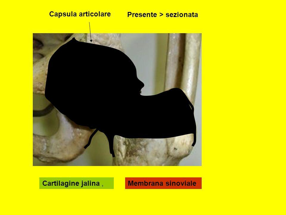 Cartilagine jalina,Membrana sinoviale Capsula articolare Presente > sezionata