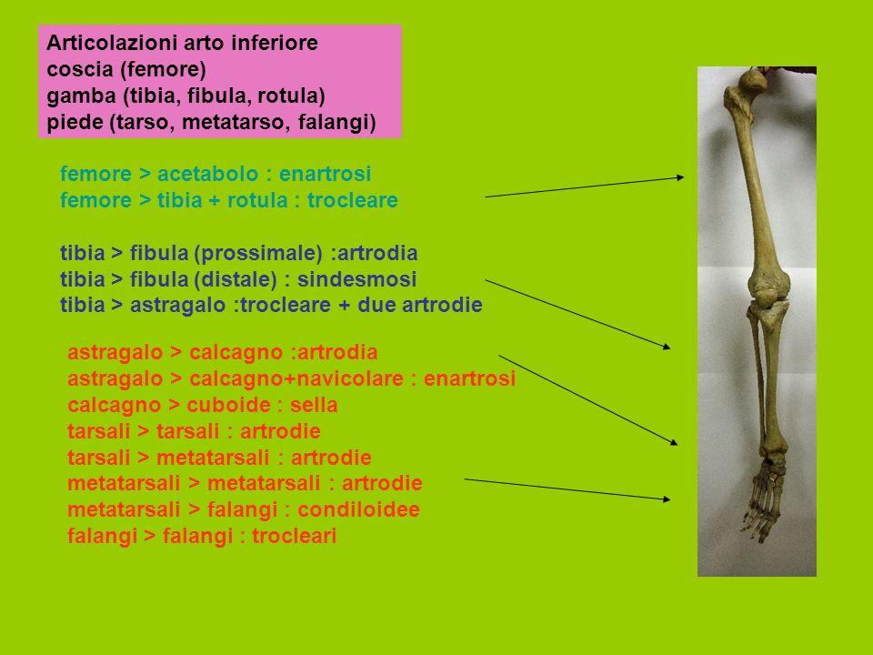 Articolazioni arto inferiore coscia (femore) gamba (tibia, fibula, rotula) piede (tarso, metatarso, falangi) femore > acetabolo : enartrosi femore > tibia + rotula : trocleare tibia > fibula (prossimale) :artrodia tibia > fibula (distale) : sindesmosi tibia > astragalo :trocleare + due artrodie astragalo > calcagno :artrodia astragalo > calcagno+navicolare : enartrosi calcagno > cuboide : sella tarsali > tarsali : artrodie tarsali > metatarsali : artrodie metatarsali > metatarsali : artrodie metatarsali > falangi : condiloidee falangi > falangi : trocleari