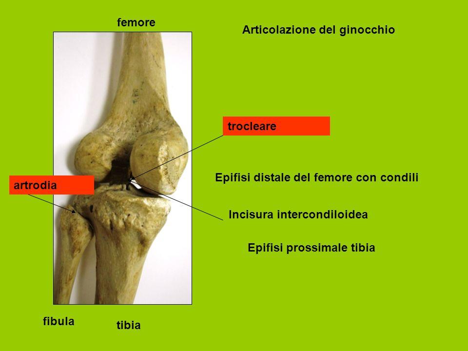 femore tibia fibula Articolazione del ginocchio Epifisi distale del femore con condili Incisura intercondiloidea Epifisi prossimale tibia trocleare artrodia