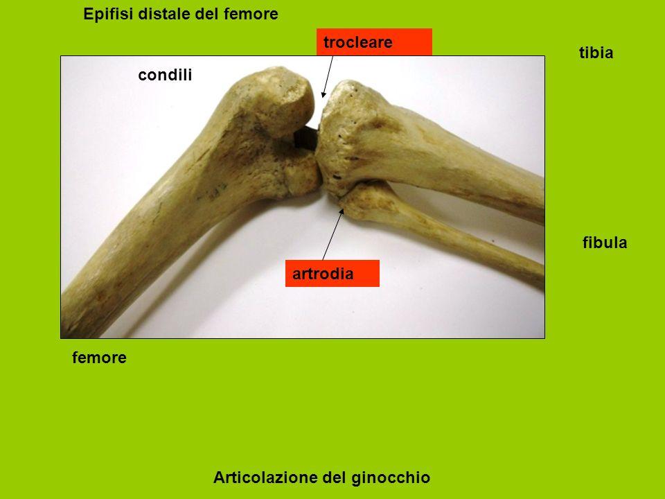 femore tibia fibula Articolazione del ginocchio condili Epifisi distale del femore trocleare artrodia