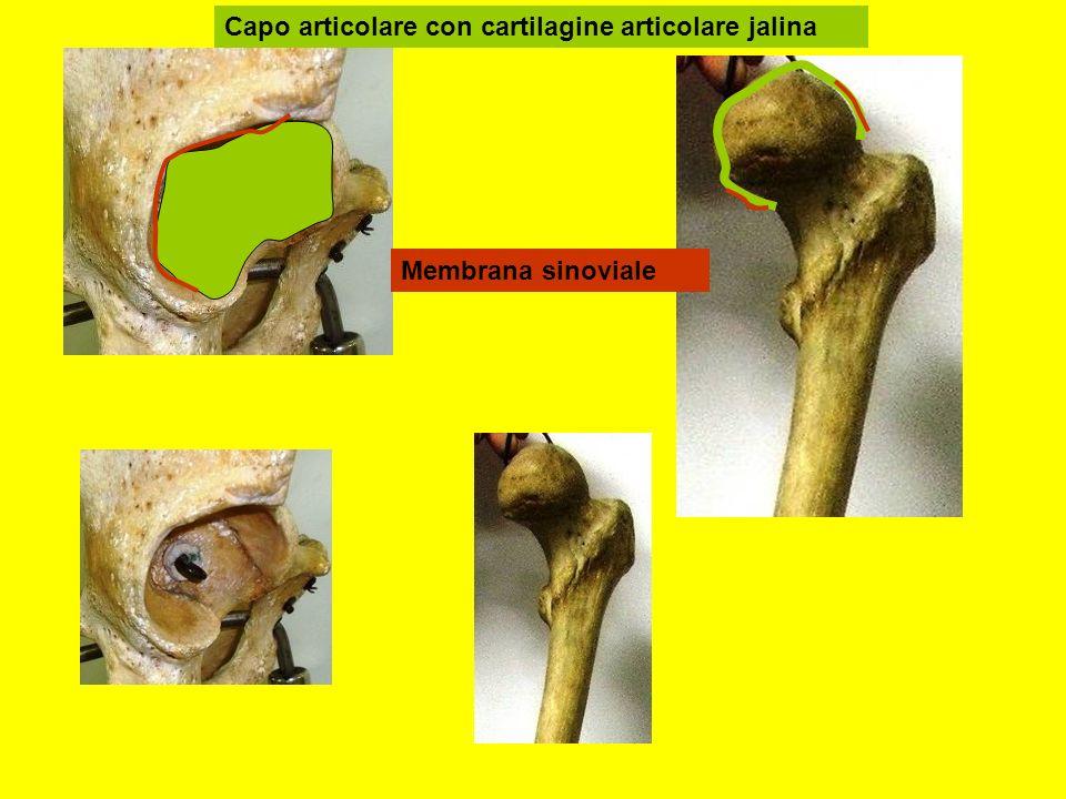 Capo articolare con cartilagine articolare jalina Membrana sinoviale