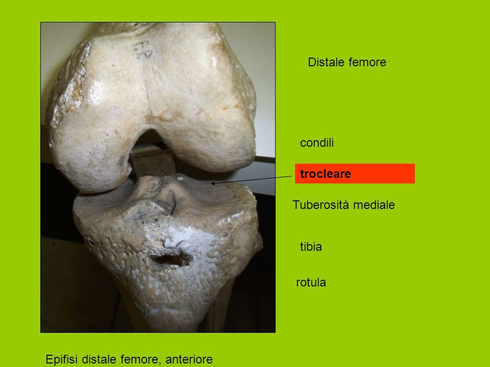Distale femore Epifisi distale femore, anteriore tibia Tuberosità mediale condili rotula trocleare