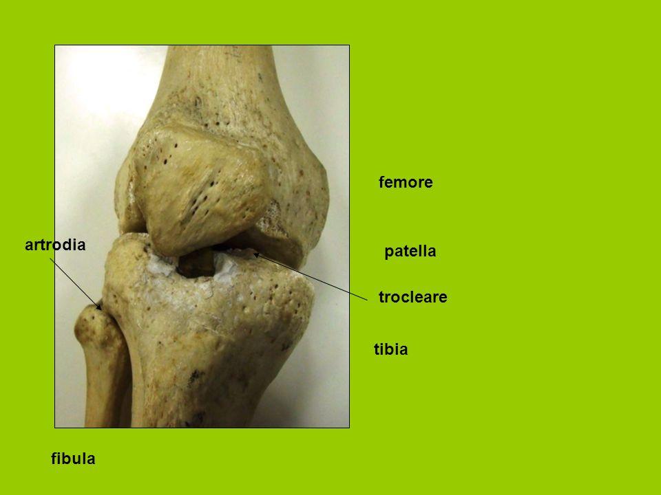 femore tibia patella fibula trocleare artrodia