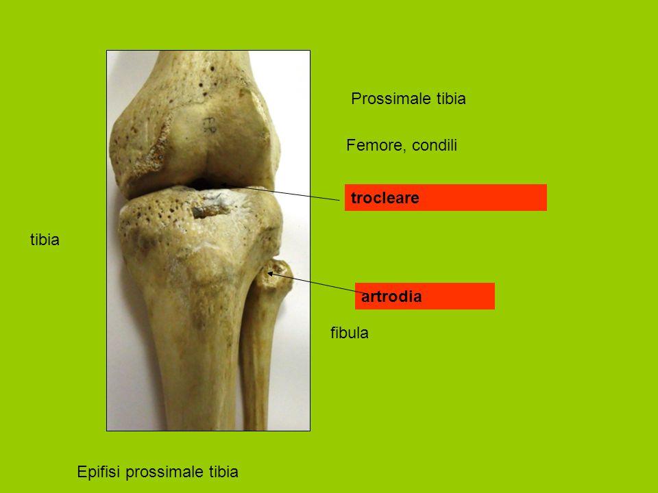 Prossimale tibia Epifisi prossimale tibia tibia fibula Femore, condili trocleare artrodia