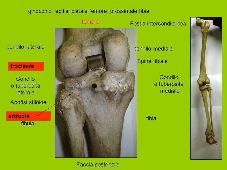 tibia fibula ginocchio: epifisi distale femore, prossimale tibia femore Condilo o tuberosità mediale Condilo o tuberosità laterale Spina tibiale Apofisi stiloide condilo mediale condilo laterale Fossa intercondiloidea Faccia posteriore trocleare artrodia