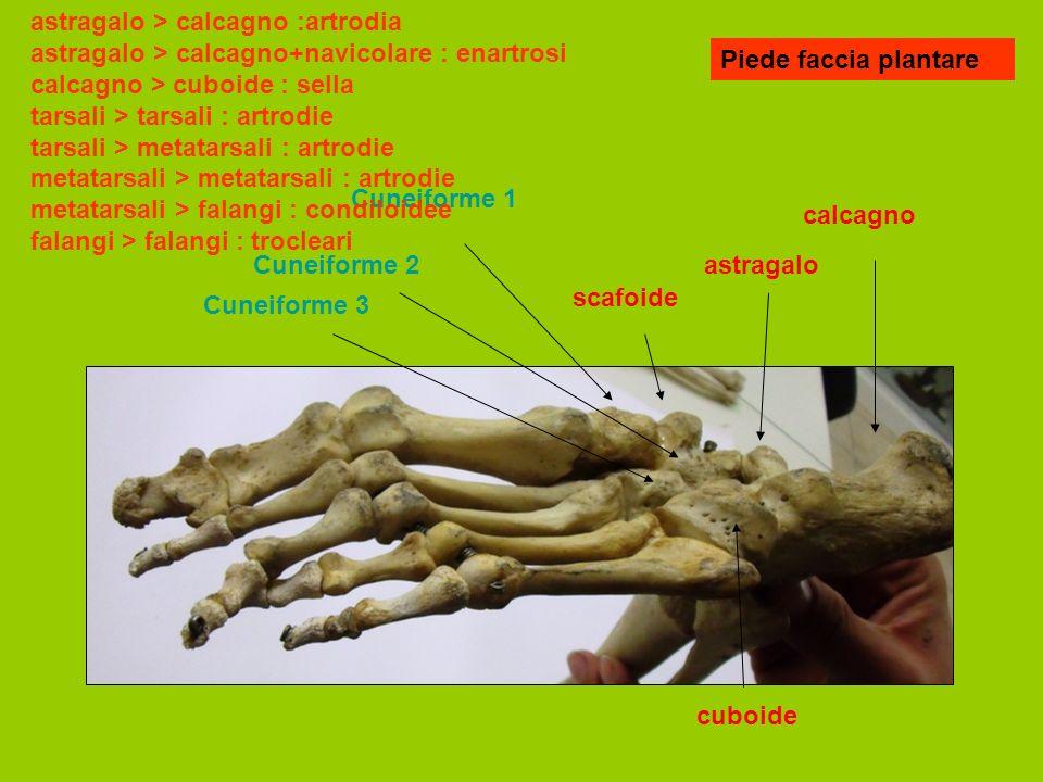 Piede faccia plantare calcagno astragalo scafoide cuboide Cuneiforme 1 Cuneiforme 2 Cuneiforme 3 astragalo > calcagno :artrodia astragalo > calcagno+navicolare : enartrosi calcagno > cuboide : sella tarsali > tarsali : artrodie tarsali > metatarsali : artrodie metatarsali > metatarsali : artrodie metatarsali > falangi : condiloidee falangi > falangi : trocleari
