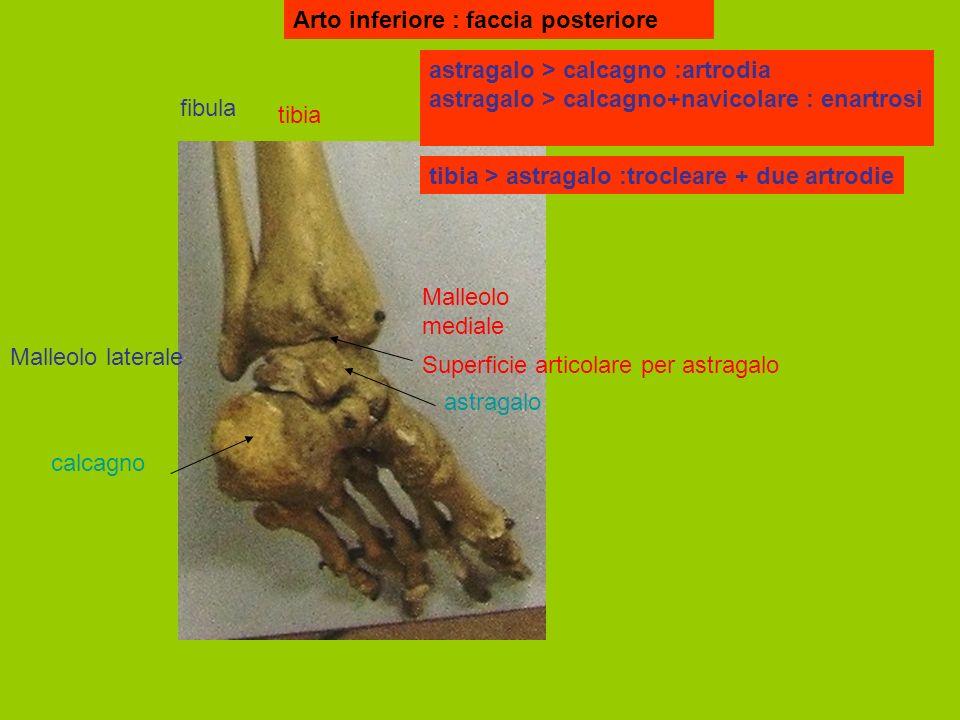 Arto inferiore : faccia posteriore tibia fibula Malleolo mediale Malleolo laterale astragalo calcagno Superficie articolare per astragalo astragalo > calcagno :artrodia astragalo > calcagno+navicolare : enartrosi tibia > astragalo :trocleare + due artrodie