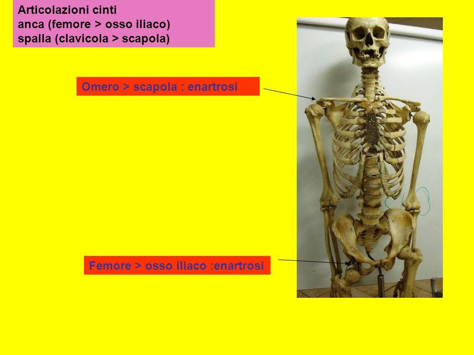 Articolazioni cinti anca (femore > osso iliaco) spalla (clavicola > scapola) Femore > osso iliaco :enartrosi Omero > scapola : enartrosi
