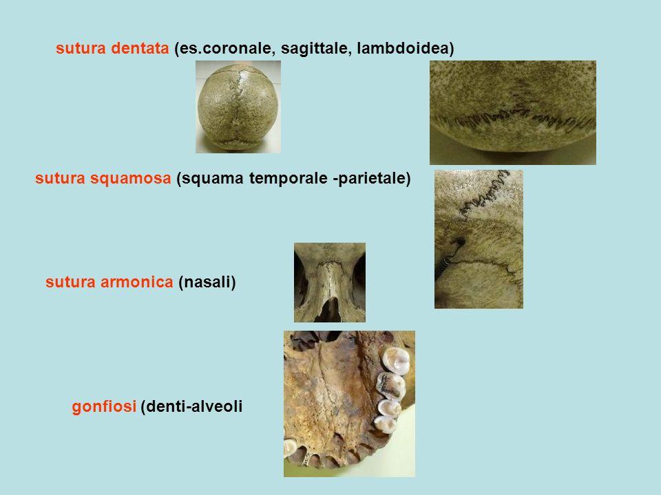 sutura dentata (es.coronale, sagittale, lambdoidea) sutura squamosa (squama temporale -parietale) sutura armonica (nasali) gonfiosi (denti-alveoli