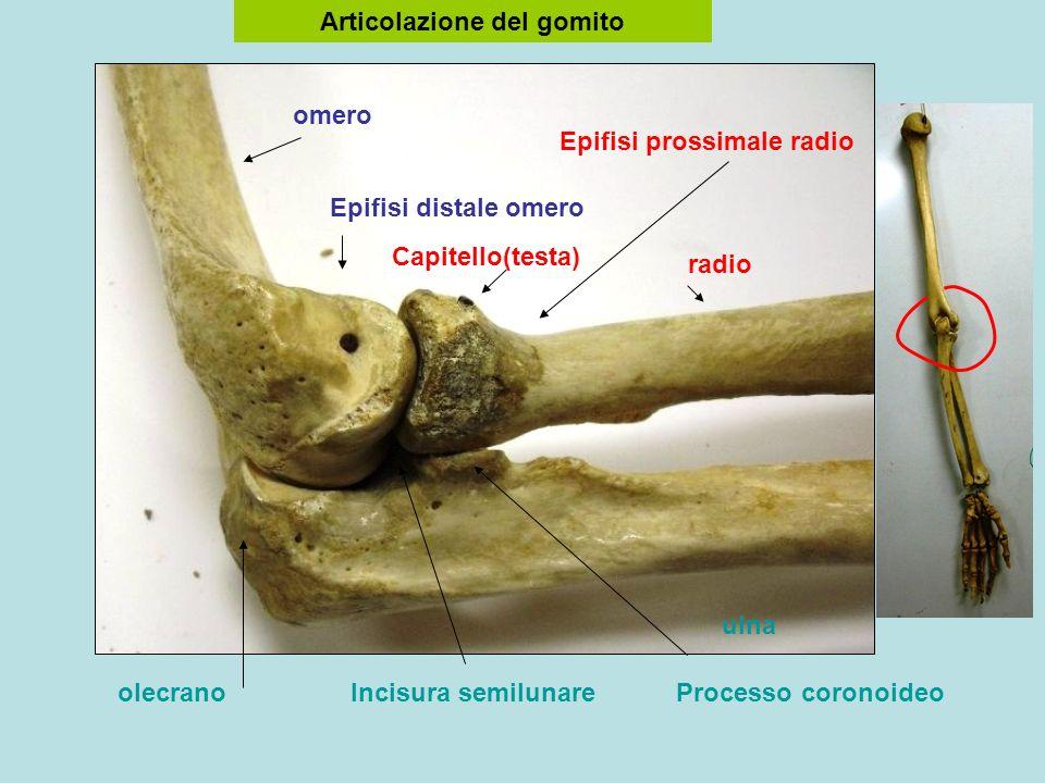 omero radio ulna Articolazione del gomito Epifisi distale omero Epifisi prossimale radio Capitello(testa) olecranoIncisura semilunareProcesso coronoideo