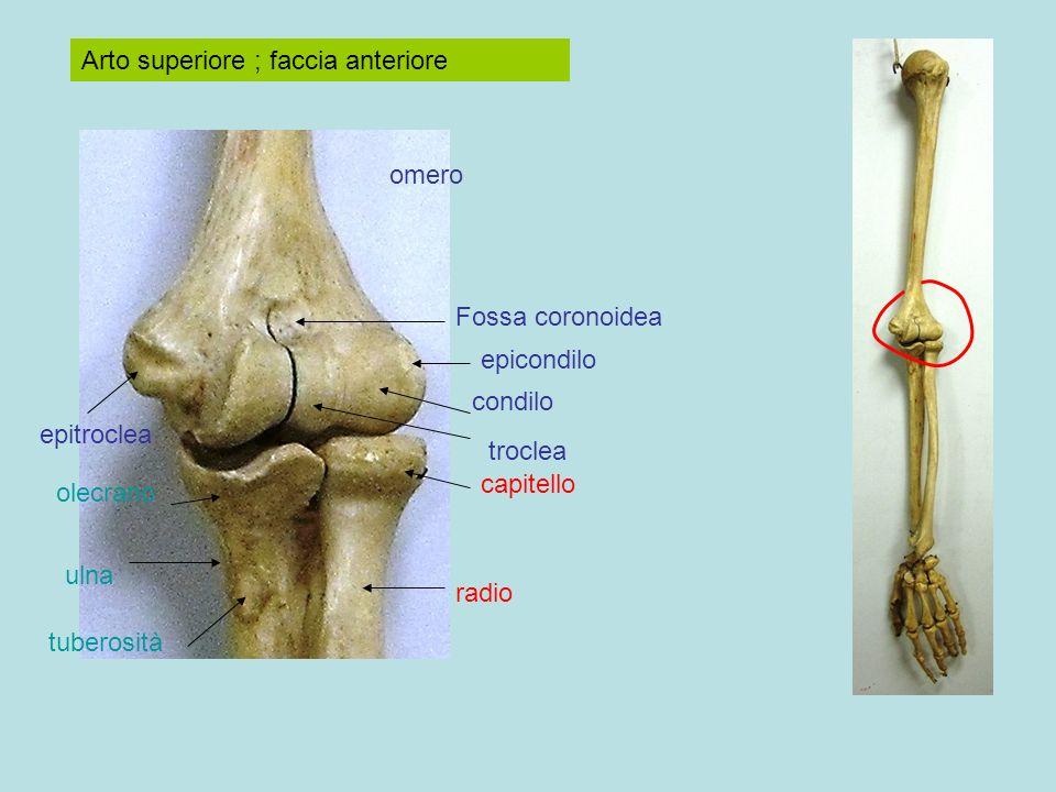 Arto superiore ; faccia anteriore omero radio ulna capitello olecrano tuberosità Fossa coronoidea condilo troclea epitroclea epicondilo