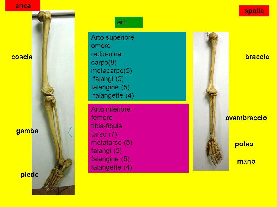 arti Arto superiore omero radio-ulna carpo(8) metacarpo(5) falangi (5) falangine (5) falangette (4) Arto inferiore femore tibia-fibula tarso (7) metatarso (5) falangi (5) falangine (5) falangette (4) braccio avambraccio polso mano coscia gamba piede anca spalla