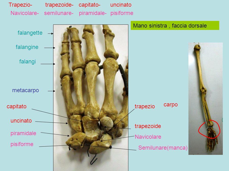 Mano sinistra, faccia dorsale metacarpo falangi falangine falangette carpo trapezio trapezoide capitato uncinato Navicolare Semilunare(manca) piramidale pisiforme Trapezio- trapezoide- capitato- uncinato Navicolare- semilunare- piramidale- pisiforme