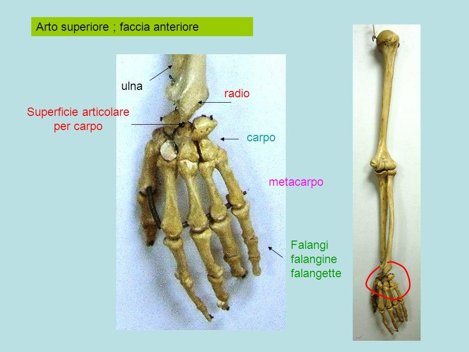Arto superiore ; faccia anteriore radio ulna carpo metacarpo Falangi falangine falangette Superficie articolare per carpo