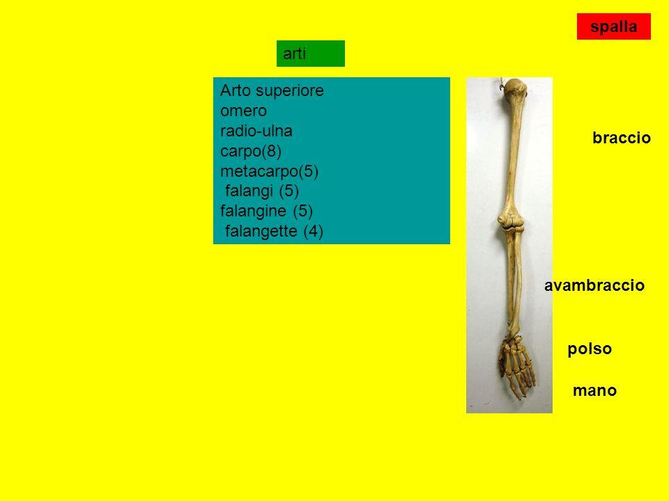 omero ulnaradio Articolazione del gomito Epifisi distale omero Epifisi prossimale radio Epifisi prossimale ulna Capitello(testa) olecrano Processo coronoideo Incisura semilunare