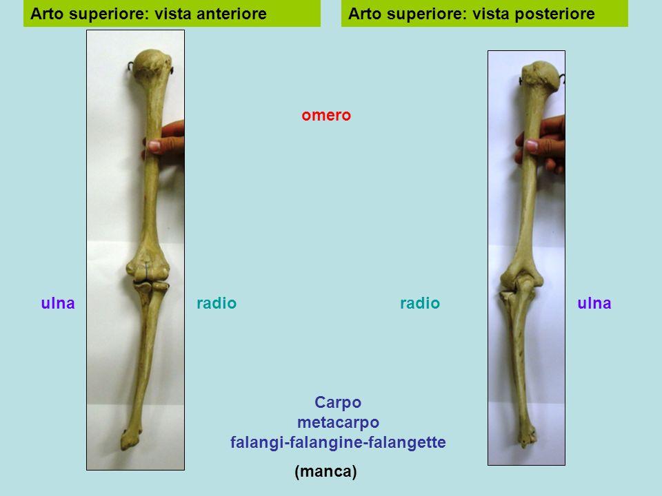 Vista anterioreVista posteriore omero radio carpo metacarpo falangi falangine falangette radio ulna