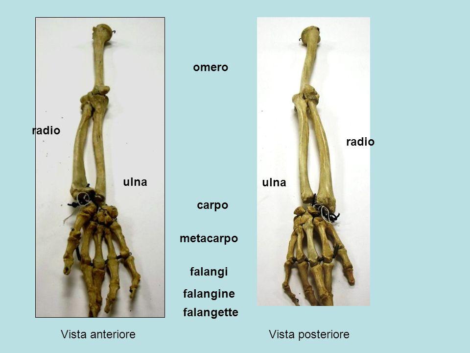 clavicola scapola Fossa sottospinata Fossa sopraspinata spina acromion Processo coracoideo costole
