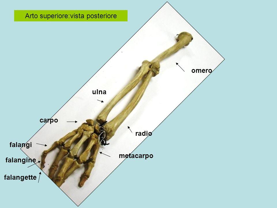Arto superiore omero radio ulna Carpo (8) Metacarpo (5) Falangi (5) Falangine (5) Falangette(4) testa corpo capitello olecrano stiloide collo Epifisi prossimale Epifisi distale diafisi Epifisi prossimale Epifisi distale diafisi