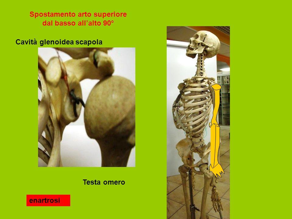Spostamento arto superiore dal basso allalto 90° enartrosi Testa omero Cavità glenoidea scapola