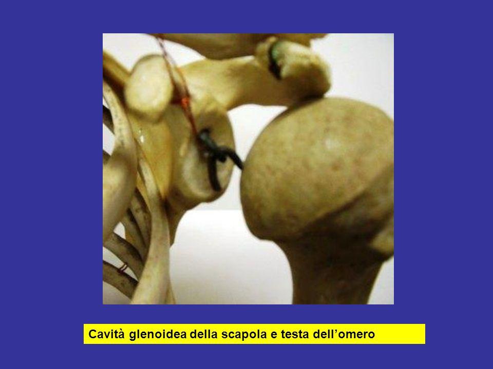 Cavità glenoidea della scapola e testa dellomero