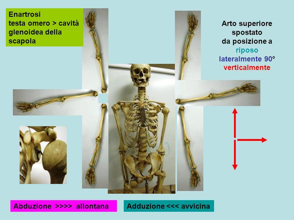 Enartrosi testa omero > cavità glenoidea della scapola Arto superiore spostato da posizione a riposo lateralmente 90° verticalmente Abduzione >>>> allontanaAdduzione <<< avvicina