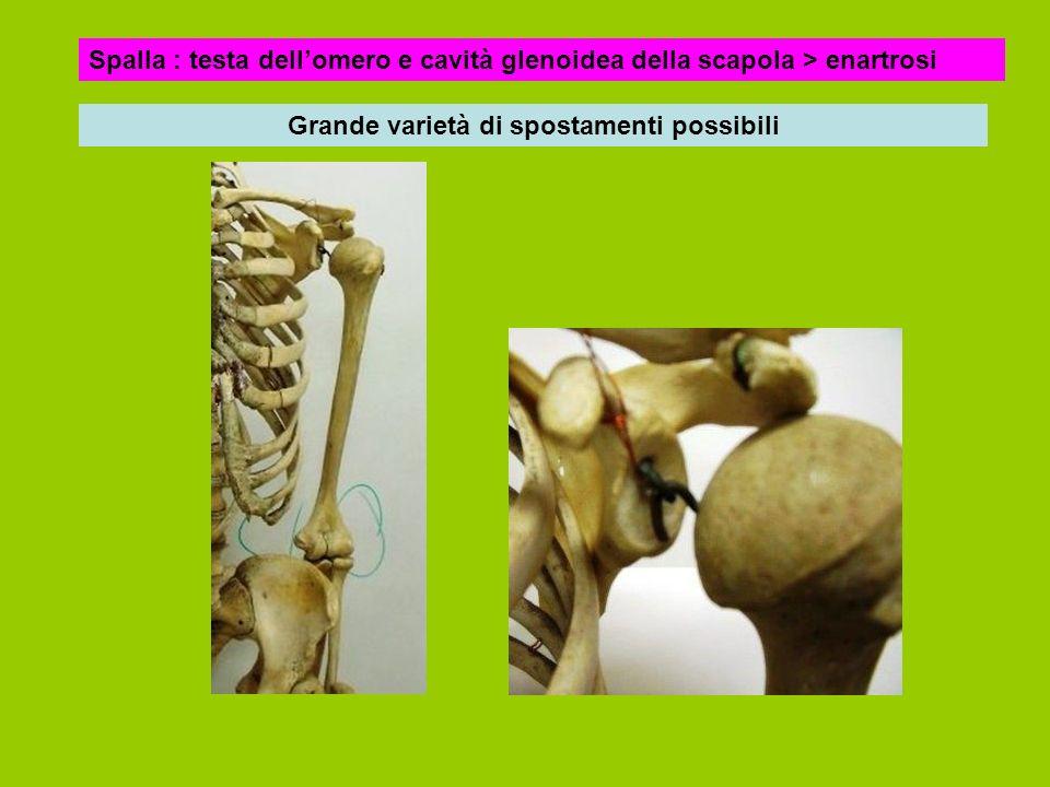 Spalla : testa dellomero e cavità glenoidea della scapola > enartrosi Grande varietà di spostamenti possibili