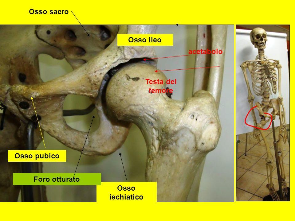 Osso pubico Osso ischiatico Osso ileo Osso sacro acetabolo Testa del femore Foro otturato