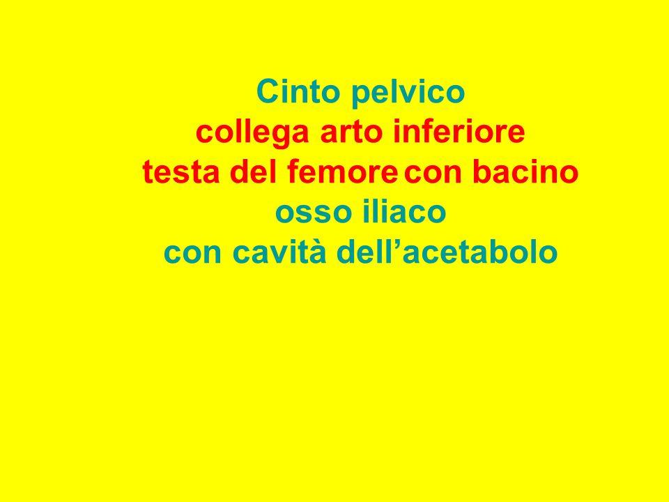 ileo ischiopube sacro femore Foro otturato acetabolo Bacino:cinto pelvico+ sacro-coccige