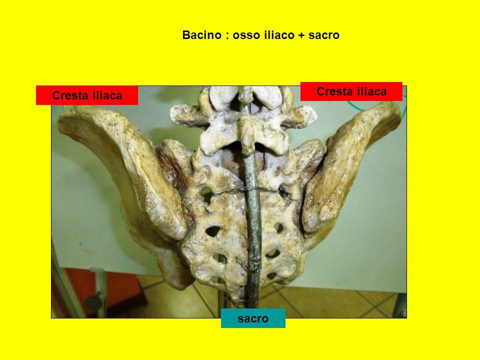 acetabolo Tuberosità ischiatica coccige sacro ileo pube Cinto pelvico : osso iliaco Osso iliaco :ileo+ischio+pube Bacino : cinto pelvico + sacro-coccige