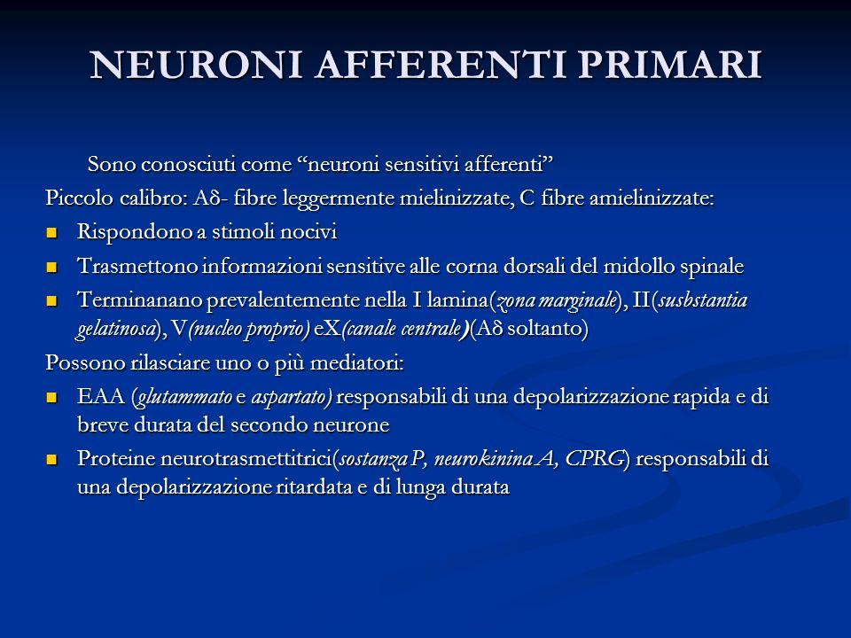 NEURONI AFFERENTI PRIMARI Sono conosciuti come neuroni sensitivi afferenti Piccolo calibro: Aδ- fibre leggermente mielinizzate, C fibre amielinizzate: