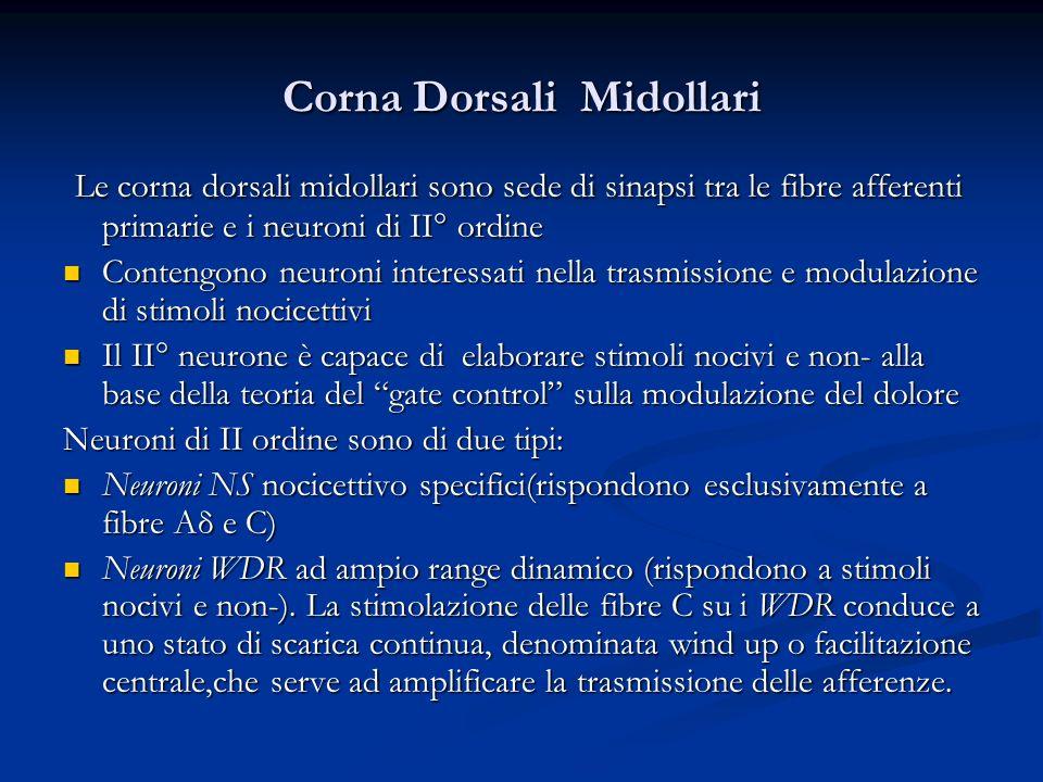 Corna Dorsali Midollari Le corna dorsali midollari sono sede di sinapsi tra le fibre afferenti primarie e i neuroni di II° ordine Le corna dorsali mid