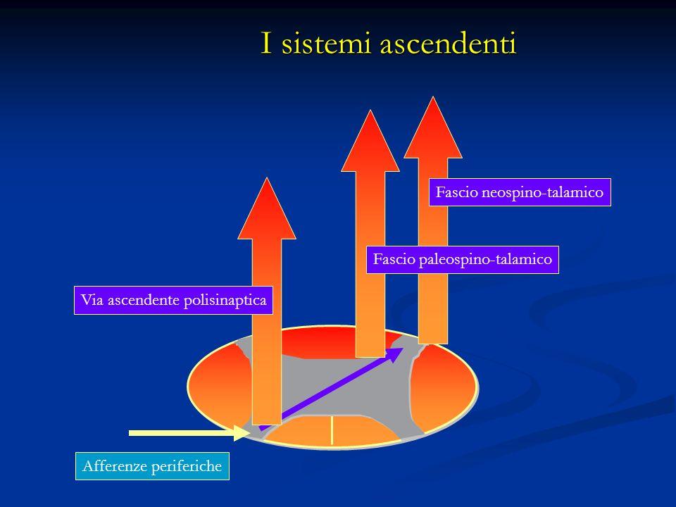 I sistemi ascendenti Via ascendente polisinaptica Fascio paleospino-talamico Fascio neospino-talamico Afferenze periferiche