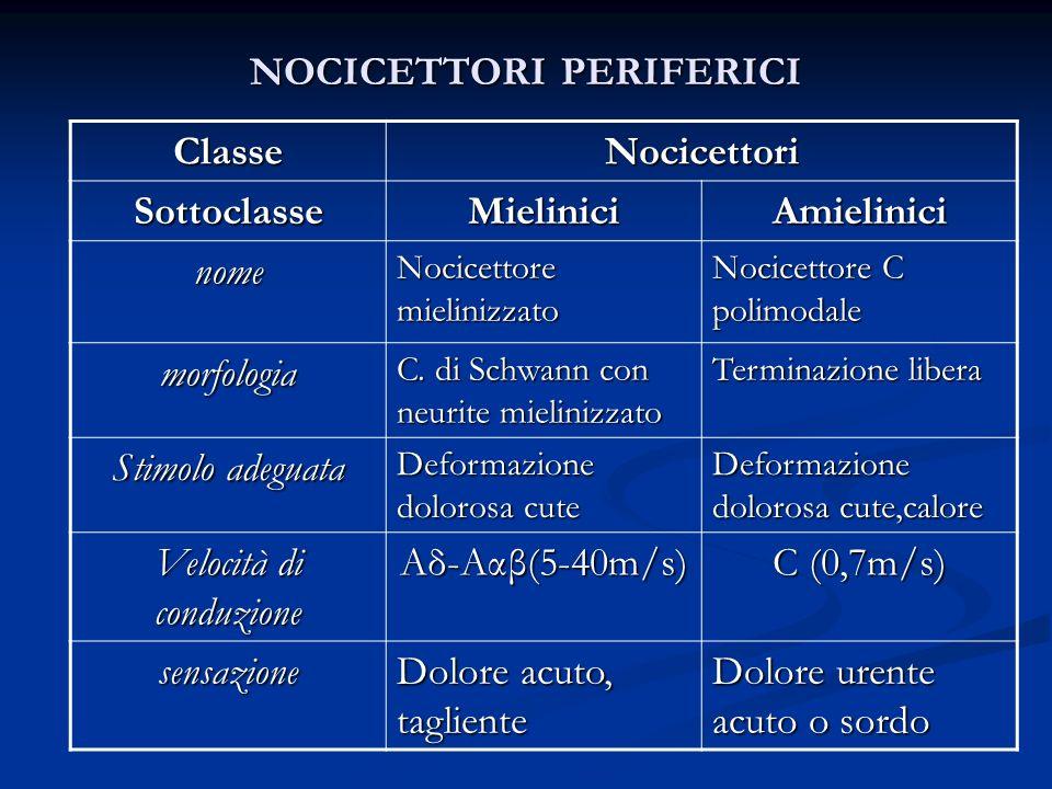 NOCICETTORI PERIFERICI ClasseNocicettori SottoclasseMieliniciAmielinici nome Nocicettore mielinizzato Nocicettore C polimodale morfologia C. di Schwan