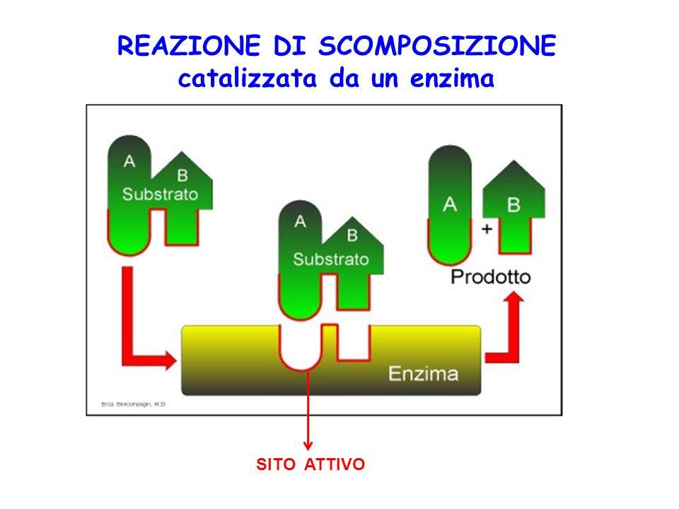 SITO ATTIVO REAZIONE DI SCOMPOSIZIONE catalizzata da un enzima