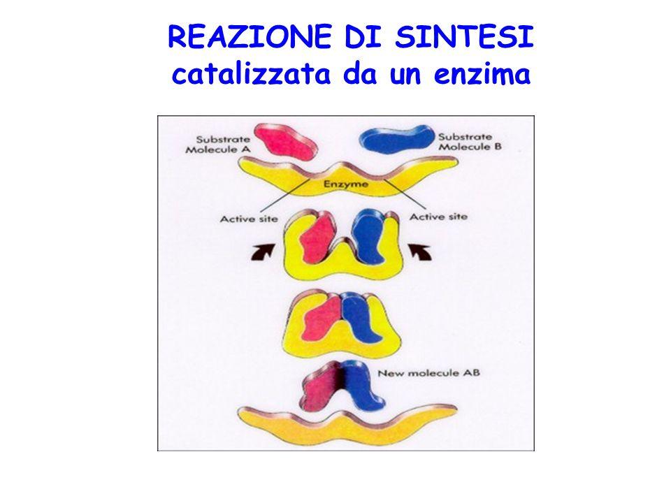 REAZIONE DI SINTESI catalizzata da un enzima