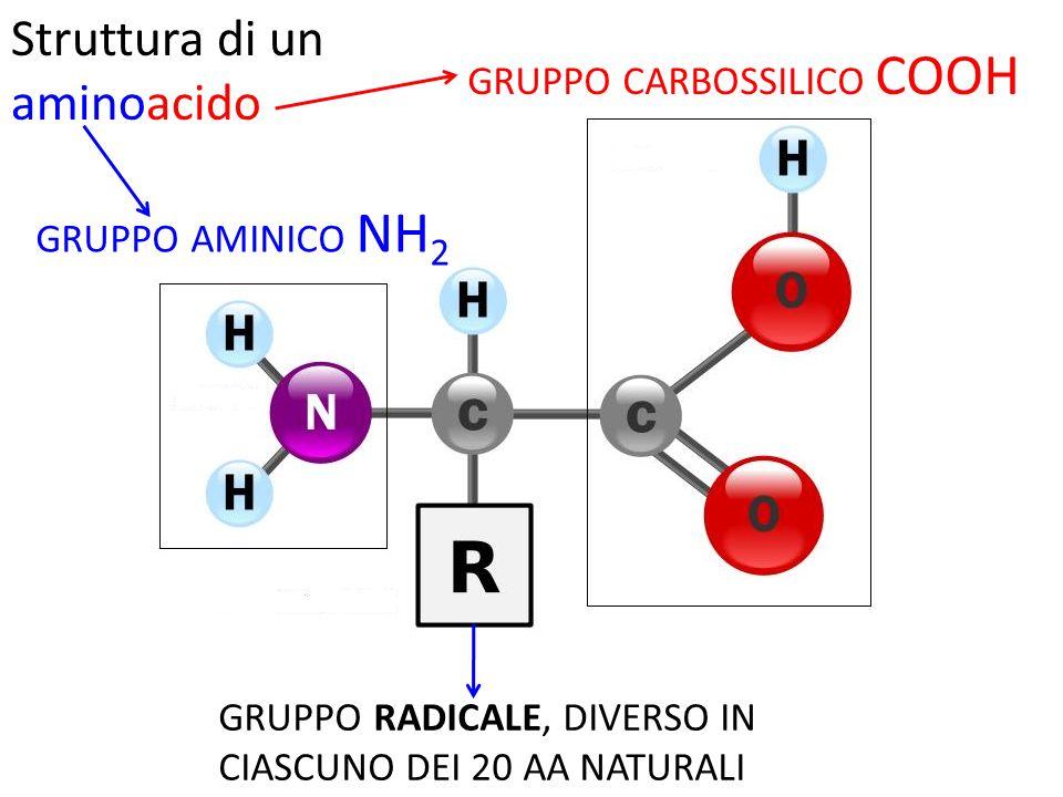 GRUPPO CARBOSSILICO COOH GRUPPO AMINICO NH 2 GRUPPO RADICALE, DIVERSO IN CIASCUNO DEI 20 AA NATURALI Struttura di un aminoacido