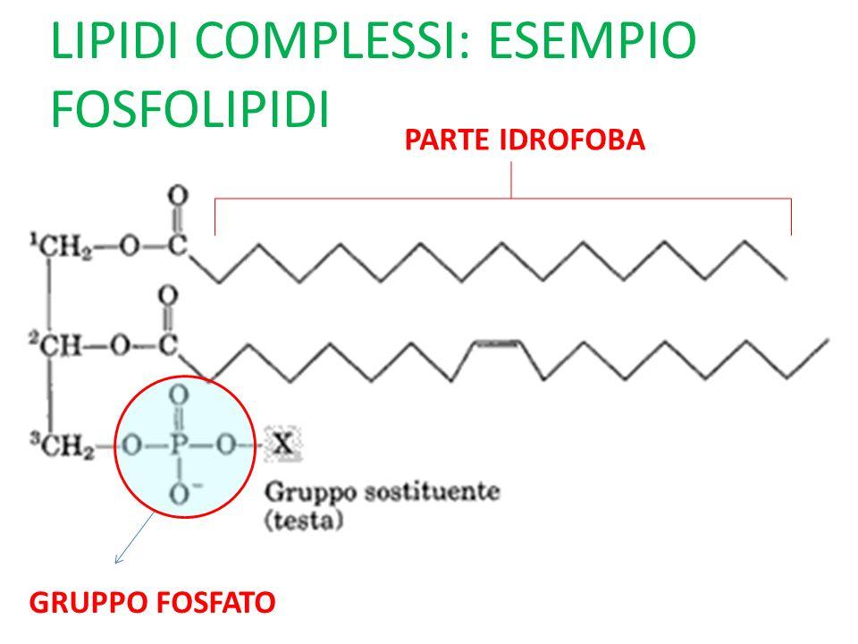 LIPIDI COMPLESSI: ESEMPIO FOSFOLIPIDI GRUPPO FOSFATO PARTE IDROFOBA