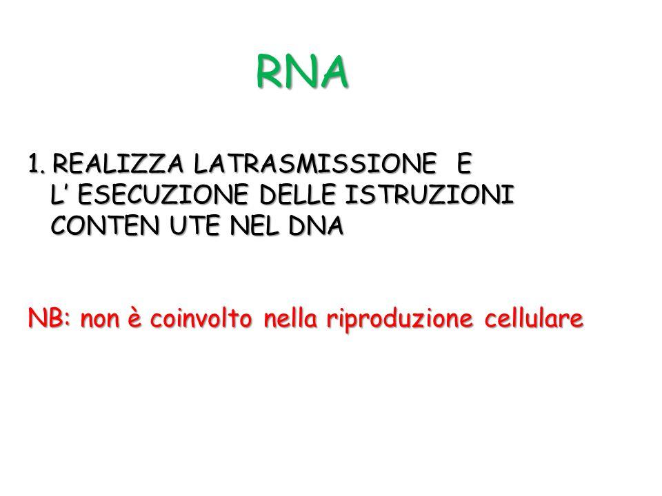 RNA 1.REALIZZA LATRASMISSIONE E L ESECUZIONE DELLE ISTRUZIONI L ESECUZIONE DELLE ISTRUZIONI CONTEN UTE NEL DNA CONTEN UTE NEL DNA NB: non è coinvolto
