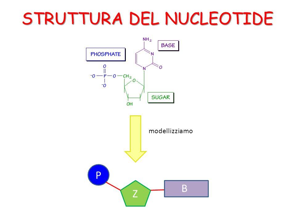 B P Z STRUTTURA DEL NUCLEOTIDE B modellizziamo