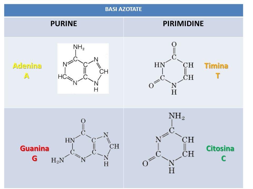BASI AZOTATE PURINEPIRIMIDINE Adenina A Guanina G Timina T Citosina C