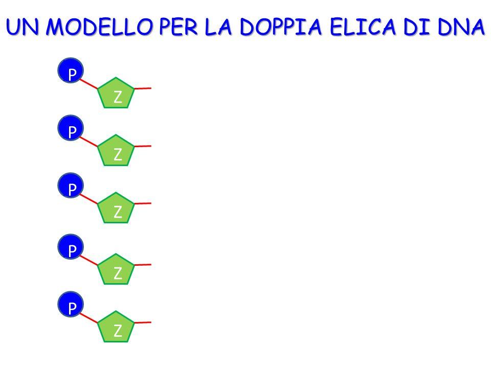 UN MODELLO PER LA DOPPIA ELICA DI DNA B P Z B P Z B P Z B P Z B P Z