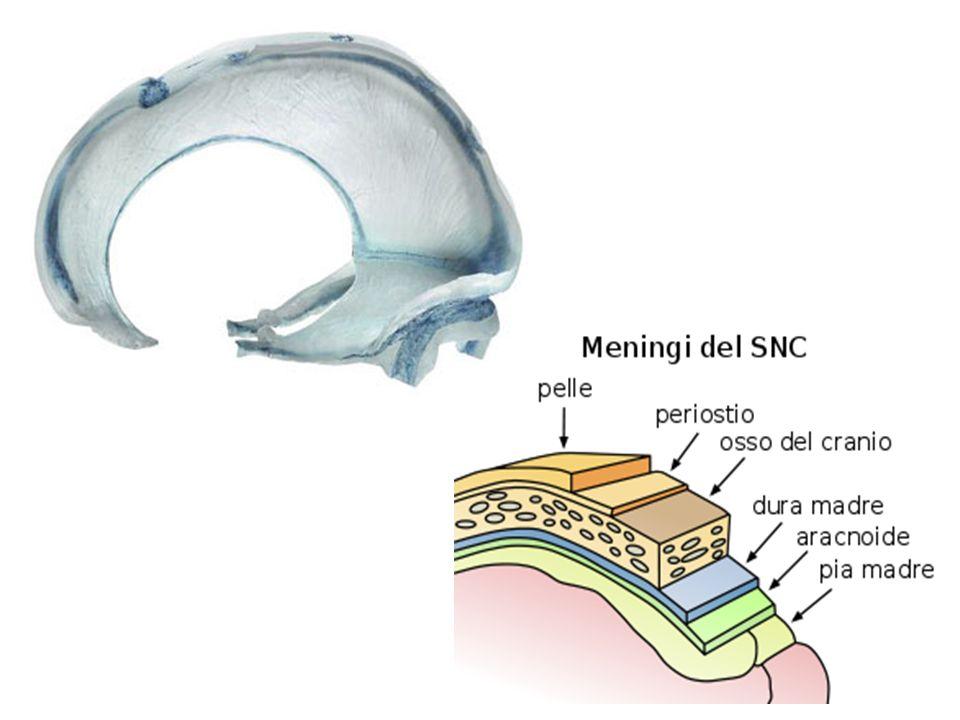 4 - Mobilità delle ossa craniche In seguito alle trazioni delle MTR, ai movimenti del LCR e alle contrazioni del sistema nervoso, il cranio si adatta grazie alla mobilità e alla plasticità delle singole ossa che lo costituiscono
